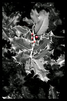 Holly Berries - Stevenson, WA