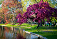 Springtime in the Garden - Boston Public Garden