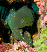 Moray Eel - Galapagos Islands, Ecuador