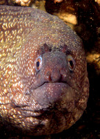 Pacific Moray - Galapagos Islands, Ecuador