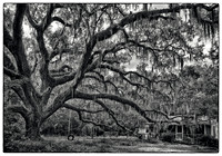 Florida Live Oak and Tire Swing - Santa Rosa Beach, FL