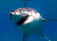 Great White Shark - Guadalupe Island, MX
