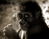 Innocence - Baby Gorilla at San Diego Zoo, CA